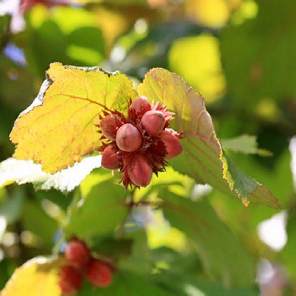 Nocciolo Avellana è un arbusto di grandi dimensioni | Vivailazzaro.it