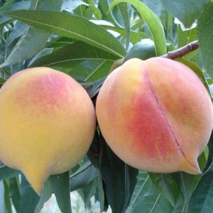 Yellow peaches - Prunus persica